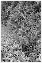 Fireweed and forest in summer, North Cascades National Park Service Complex.  ( black and white)