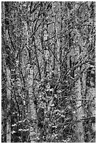 Trees in autumn with past peak leaves, North Cascades National Park Service Complex.  ( black and white)