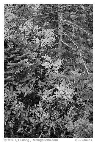 Close-up of berry plants and spruce in autumn, North Cascades National Park Service Complex.  (black and white)