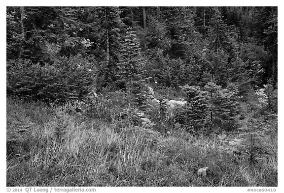 Colorful berry plants and forest in autumn, North Cascades National Park Service Complex.  (black and white)