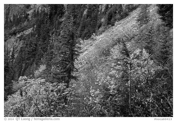Slopes with shrubs in autumn foliage, scree, and spruce, North Cascades National Park Service Complex.  (black and white)