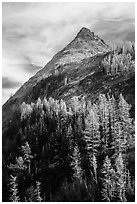 Larch trees in autumn foliage below triangular peak, Easy Pass, North Cascades National Park.  ( black and white)