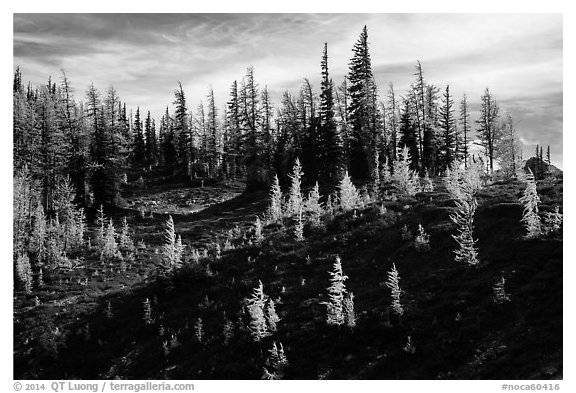 Subalpine larch trees in autumn foliage on slope, Easy Pass, North Cascades National Park.  (black and white)