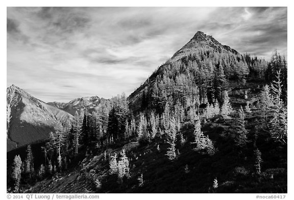 Alpine larch in autumn foliage above Easy Pass, North Cascades National Park.  (black and white)