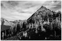 Alpine larch in autumn foliage above Easy Pass, North Cascades National Park.  ( black and white)