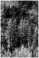 Slope with subalpine larch (Larix lyallii) in autumn, Easy Pass, North Cascades National Park.  ( black and white)