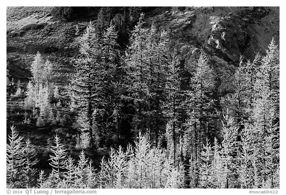 Alpine larch trees (Larix lyallii) with golden needles, Easy Pass, North Cascades National Park.  (black and white)