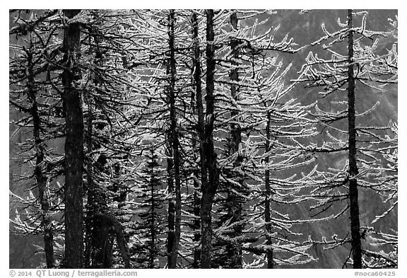 Trunks and golden needles, alpine larch in autum, North Cascades National Park.  (black and white)