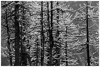 Trunks and golden needles, alpine larch in autum, North Cascades National Park.  ( black and white)