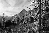 Alpine larch in autumn and Ragged Ridge, North Cascades National Park.  ( black and white)