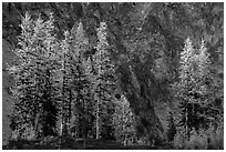 Alpine larch in autumn and rock wall, Easy Pass, North Cascades National Park.  ( black and white)