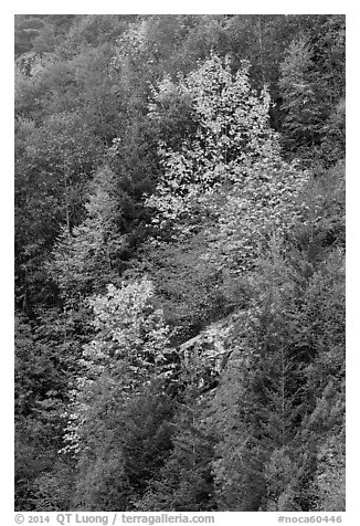 Trees in autumn foliage on steep slope, North Cascades National Park Service Complex.  (black and white)