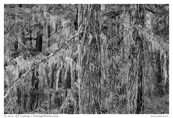 Epiphytic moss on trees, Lake Ross trail, North Cascades National Park Service Complex.  (black and white)
