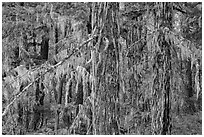 Epiphytic moss on trees, Lake Ross trail, North Cascades National Park Service Complex.  ( black and white)