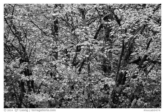 Close-up of trees in fall foliage, Thunder Creek, North Cascades National Park Service Complex.  (black and white)