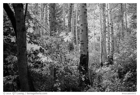 Aspen in autumn, North Cascades National Park.  (black and white)