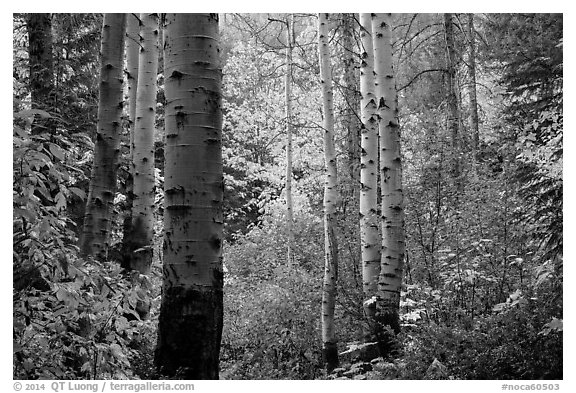 Aspen trunks and autumn colors, North Cascades National Park.  (black and white)