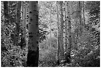 Aspen trunks and autumn colors, North Cascades National Park.  ( black and white)