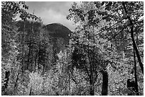 Autumn foliage and McGregor Mountain, North Cascades National Park.  ( black and white)