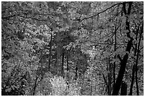 Autumn foliage along Agnes Gorge trail, North Cascades National Park.  ( black and white)
