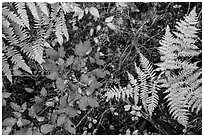 Close-up of ferns and berry plants in autumn, North Cascades National Park Service Complex.  ( black and white)