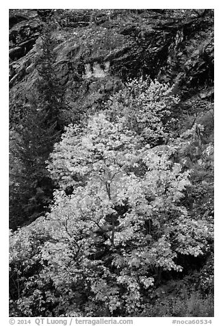 Vine maple in fall foliage against cliffs, North Cascades National Park Service Complex.  (black and white)