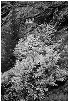 Vine maple in fall foliage against cliffs, North Cascades National Park Service Complex.  ( black and white)