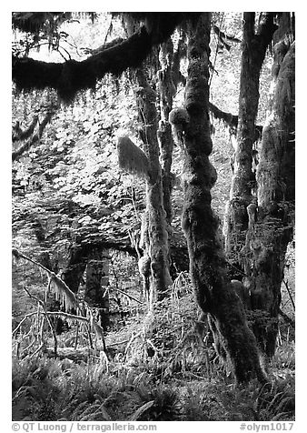 Epiphytic spikemoss on maple trees, Hoh rain forest. Olympic National Park (black and white)