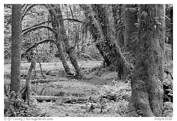 Mosses, trees, and pond, Quinault rain forest. Olympic National Park (black and white)