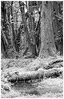 Mosses and trees, Quinault rain forest. Olympic National Park, Washington, USA. (black and white)