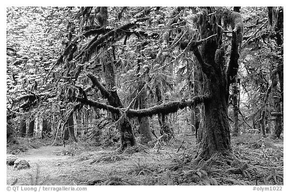 Green Mosses and trees, Quinault rain forest. Olympic National Park (black and white)