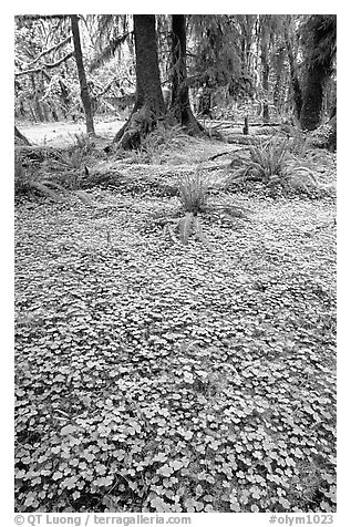 Forest floor carpeted with clovers, Quinault rain forest. Olympic National Park (black and white)