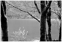 Moss-covered trees on  shore of Crescent lake. Olympic National Park, Washington, USA. (black and white)