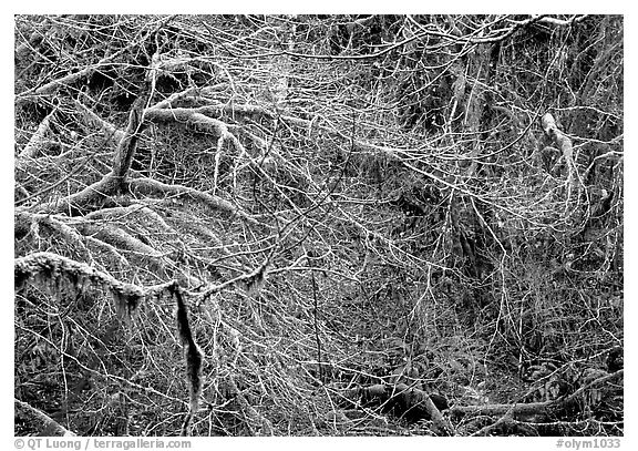 Branches and moss in spring. Olympic National Park (black and white)