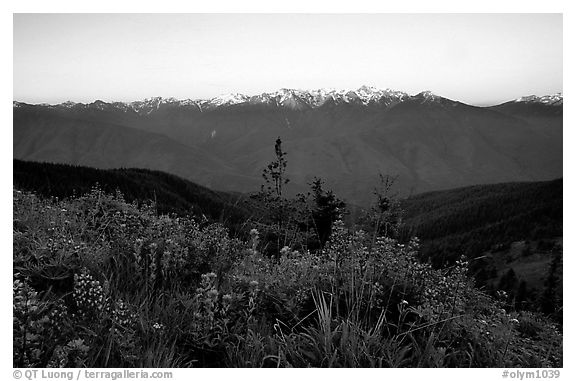 Wildflowers and Olympus range, Hurricane ridge. Olympic National Park (black and white)