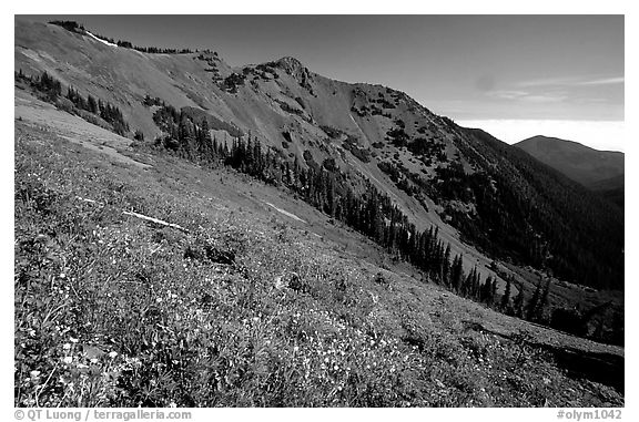 Wildflowers on hill, Hurricane ridge. Olympic National Park (black and white)