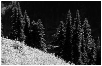Wildflowers and pine trees, Hurricane ridge. Olympic National Park, Washington, USA. (black and white)