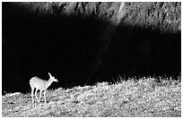 Deer on ridge above valley shadows, Hurricane ridge. Olympic National Park ( black and white)