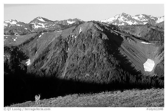 Deer on ridge with Olympic Mountains behind, Hurricane ridge, morning. Olympic National Park (black and white)