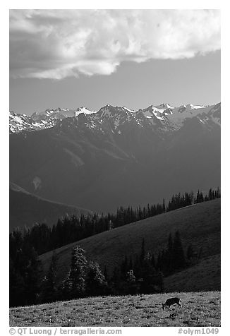 Deer and Olympus Range, Hurricane ridge, afternoon. Olympic National Park (black and white)