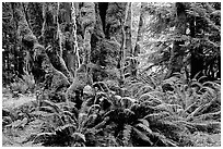 Ferns and moss-covered trunks near Crescent Lake. Olympic National Park, Washington, USA. (black and white)