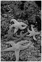 Seastars on rocks at low tide. Olympic National Park ( black and white)