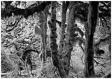 Club moss on vine maple and bigleaf maple in Hoh rain forest. Olympic National Park ( black and white)