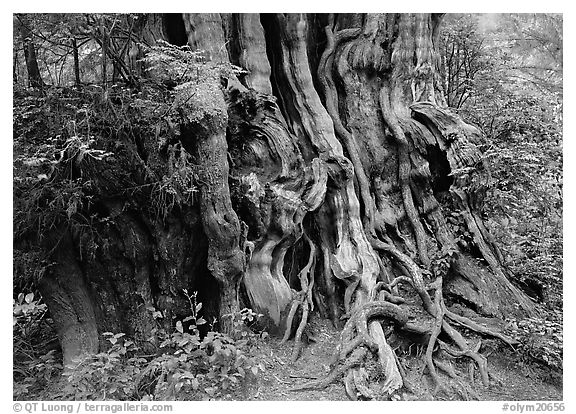 Huge cedar tree. Olympic National Park (black and white)