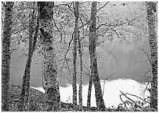 Birch trees with textured trunks and green leaves on shore of Crescent Lake. Olympic National Park, Washington, USA. (black and white)