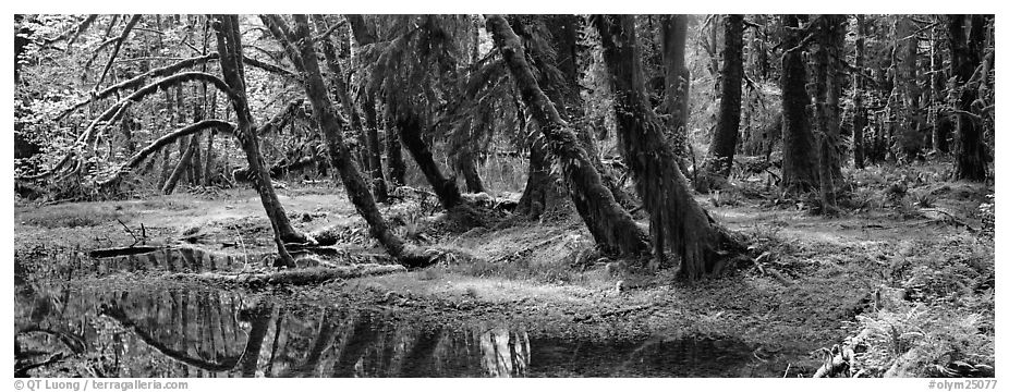 Rainforest pond. Olympic National Park (black and white)