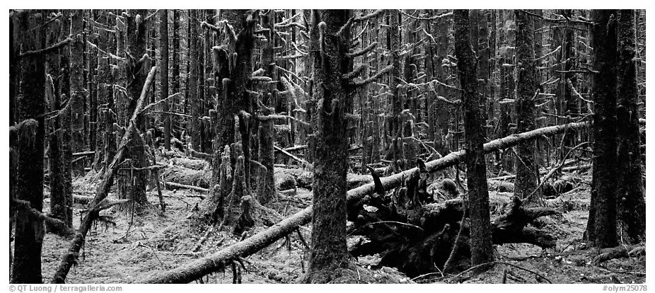 Mossy rainforest. Olympic National Park (black and white)