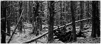 Mossy rainforest. Olympic National Park (Panoramic black and white)