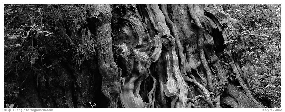 Ancient Cedar trunk. Olympic National Park (black and white)