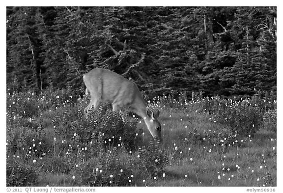 Deer grazing amongst lupine. Olympic National Park (black and white)